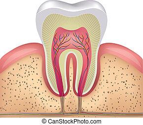 Sección de cruce de dientes blancos saludables