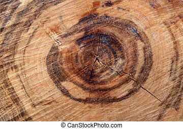 sección transversal, árbol