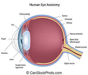 Seccion cruzada del ojo humano, eps8
