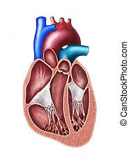 Seccion del corazón