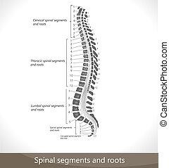 Secciones espinales y raíces.