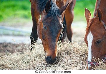 seco, caballos, comida, pasto o césped