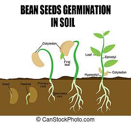 Secuencia de semillas de frijoles germinando