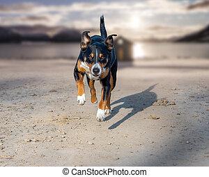sennenhund, perro, encima, rápido, muy, appenzeller, playa, corriente