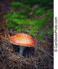 Setas de Amanita en el bosque de otoño