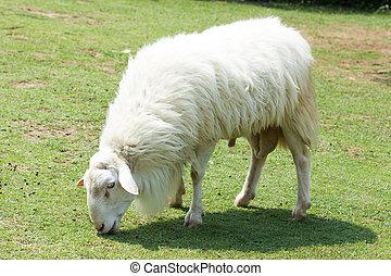 sheep, lanoso, blanco