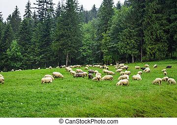 sheep, montaña, colina, manada