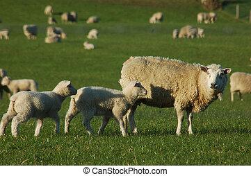sheep, muchedumbre