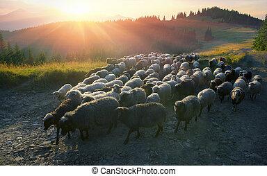 sheep, pastores, carpathians