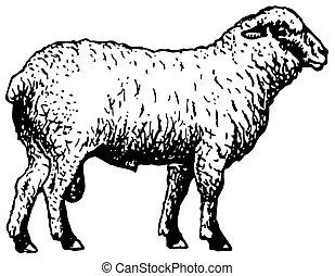 sheep, shropshire