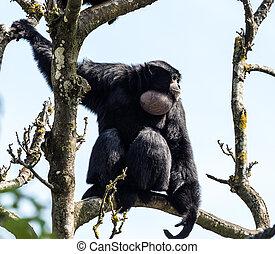 Siamang, Symphalangus Syndactylus es un arboreal negro-furred gibbon