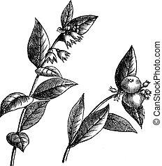 Simforicarpos o Snowberry, grabado añejo.