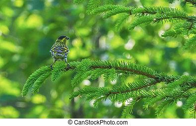 siskin, bosque de árbol