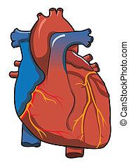 Sistema cardíaco humano con antecedentes blancos aislados
