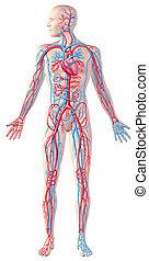 Sistema circulatorio humano, figura completa, ilustración de anatomía, con caminos de recorte incluido.