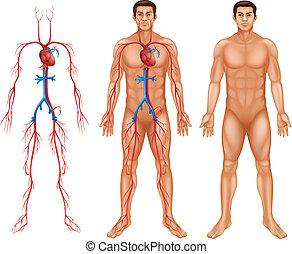 Sistema circulatorio masculino