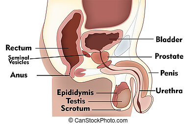 Sistema de reproducción masculina