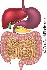 Sistema digestivo del canal alimentario