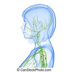 Sistema linfático de cuerpo femenino