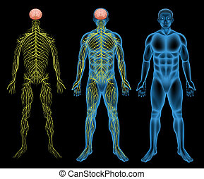 Sistema nervioso masculino