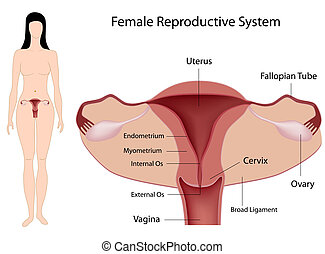 Sistema reproductivo femenino, eps8