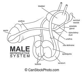 Sistema reproductivo masculino