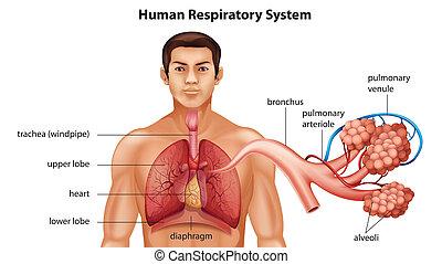 Sistema respiratorio de humanos