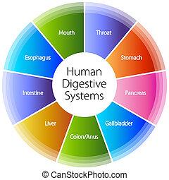 sistemas digestivos, humano