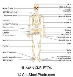 skelton, humano