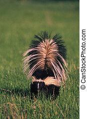 skunk rayado
