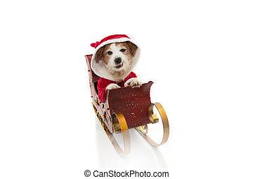 sleigh, disfraz, santa, vacaciones, dentro, plano de fondo, aislado, claus, perro, enojado, blanco, expression., navidad