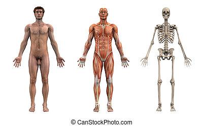 Sobrelas anatómicas, macho adulto