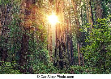 soleado, bosque de la secoya