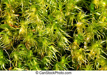 (sphagnum, verde, spp), musgo, plano de fondo