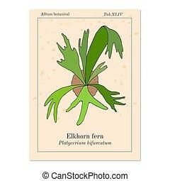 Staghorn o helecho de espino bifurcatum, ornamental y medicinal