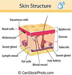structure., belleza, anatómico, cuidado de la piel, aislado, pelo humano, signo., ilustración