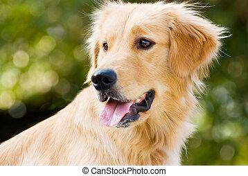 su, perro cobrador, lengua, dorado, sobresalga