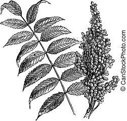 Sumacón Suave (Rhus glabra), grabado antiguo.