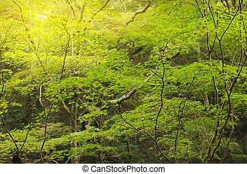 Sunbeam en el bosque de maple