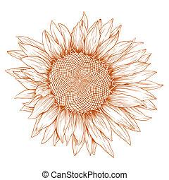 sunflower., vector