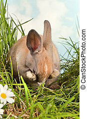 tímido, conejo