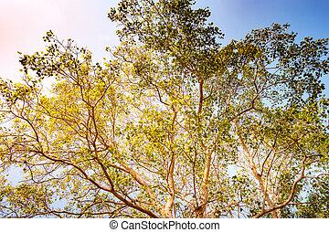 Tallo gigante de pterocarpus indicus árbol contra sol
