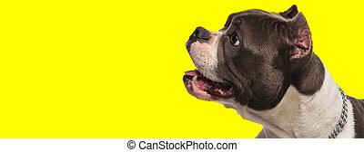 temor, norteamericano, peleón, perro, boca, miradas, feliz, jadeo, abierto, lado
