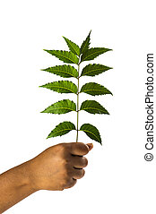 tenencia, -, mano, azadirachta, indica, hojas, neem