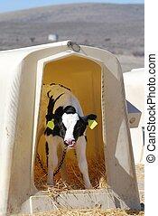 Ternero Holstein