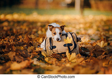 terrier, gato, park., naturaleza, bolsa, perro, otoño, russell