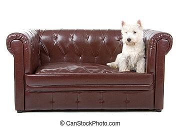 terrier, oeste, tierras altas, perro, blanco