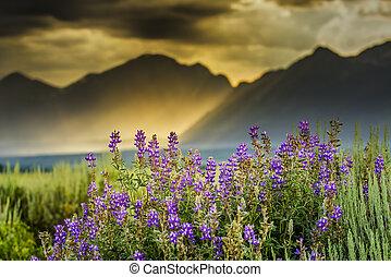 tetons, púrpura, lupines