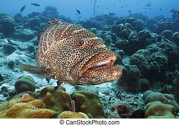tigre, bonaire, -, grouper