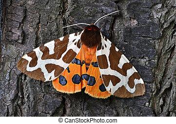 tigre, moth